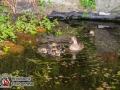Ein Entenküken ging am Montag in Hamburg-Oldenfelde auf Wanderschaft. Unbemerkt von Mama Ente watschelte der kleine Ausreißer in Nachbars Garten. Doch plötzlich fiel das kleine Küken in das Rohr einer Sickergrube. Die Anwohner bemerkten das Quaken des kleinen Ausreißers und das aufgeregte Schnattern von Mama Ente und alarmierten die Feuerwehr. Die Feuerwehr rückte mit 20 Mann an und buddelte erstmal das Rohr aus, in der Hoffnung an das Küken zu kommen. Dies gelang aber nicht, da das Küken schon auf Erkundungstour im Rohr unterwegs war. Nach langem suchen fand man dann das Ende des Rohres und spülte es vorsichtig mit Wasser durch, sodass der Ausreißer herausgeschwemmt wurde. Fürsorglich kümmerte sich ein Feuerwehrmann um den Kleinen und brachte ihn zu seiner Mama in den Nachbarteich. Ente gut, alles gut. Die Freiwillige Feuerwehr Oldenfelde, die am Montagabend ihre Wehrführerwahl haben sollte, konnte die Wahl, wenn auch verspätet, durchführen und hat nun einen neuen Wehrführer. Foto: Dominick Waldeck